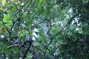 tree sycamore thru leaves