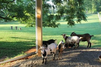 Goats good