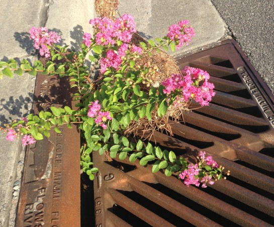 crepe myrtle growing our of storm drain