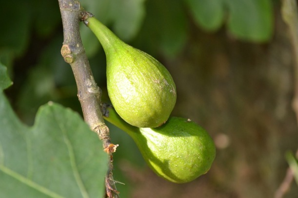 figs from pixabay