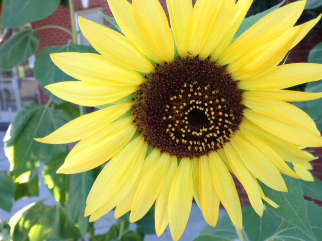 sunflower-yellow-at-chc