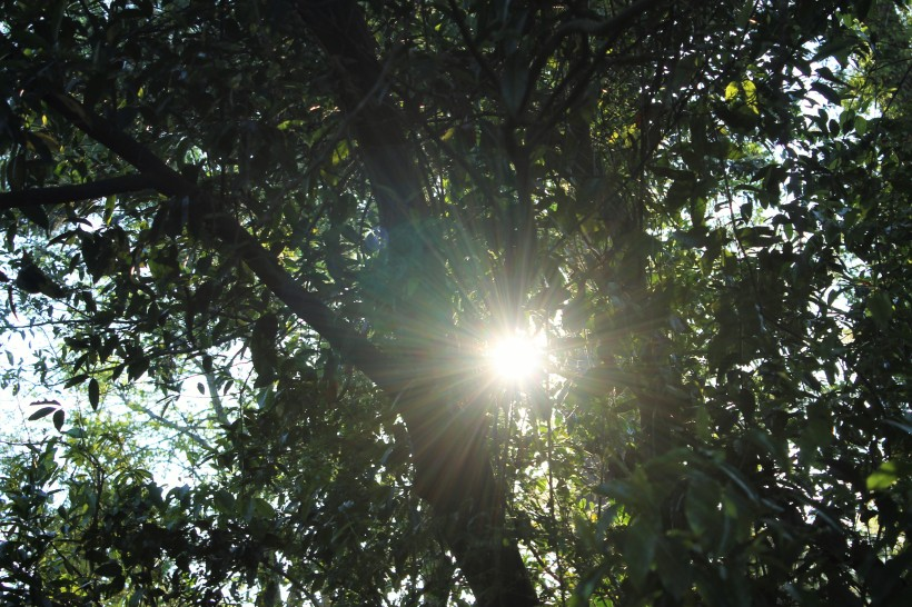 dandelion-sun-through-trees-2