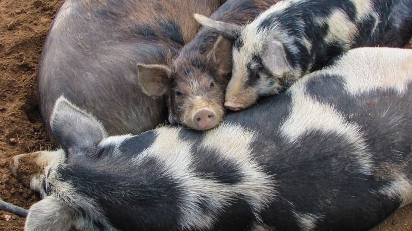 pigs-from-pixabay
