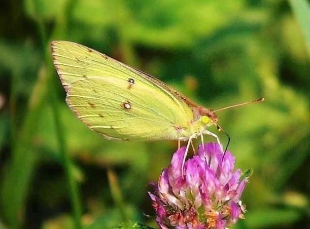 butterfly on clover flower (3)