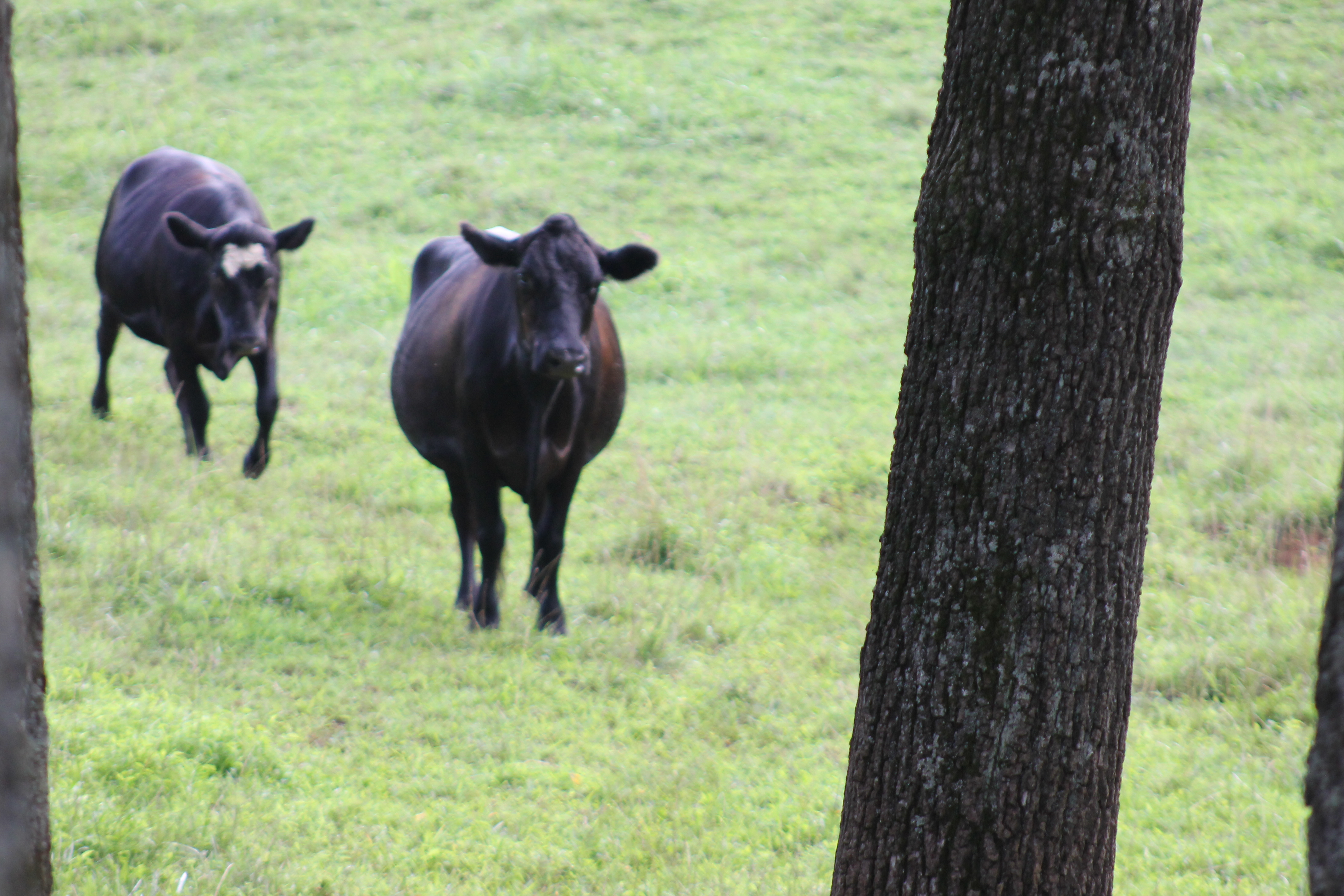 cows coming