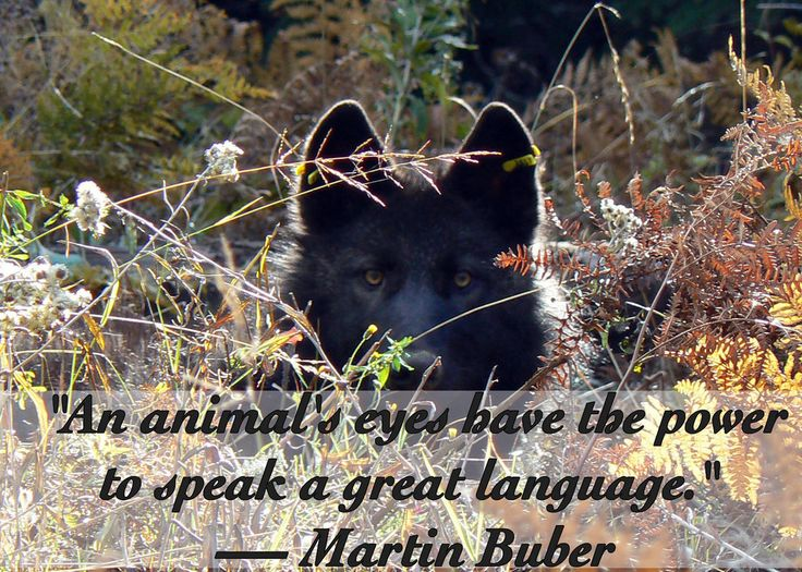 An animal eyes with wolf
