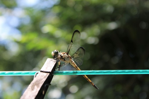 dragonfly with clothes pin