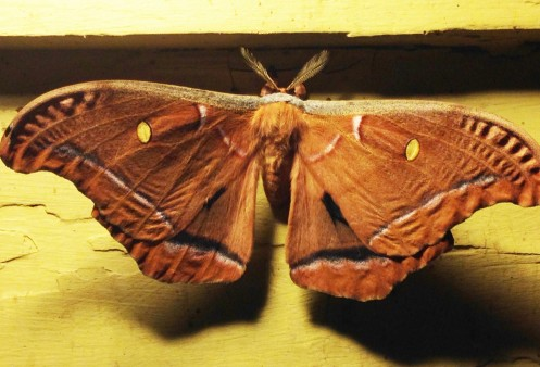 Moth bright