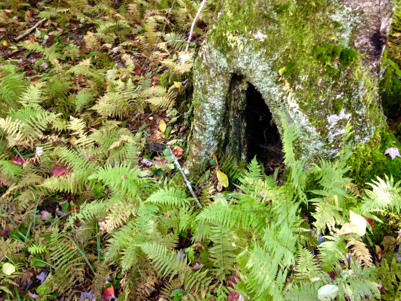 hollow tree with ferns