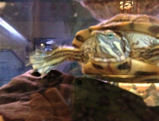 turtle at chinese buffet