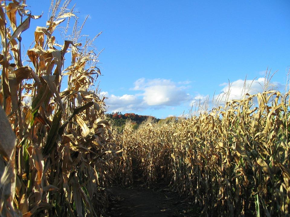 Corn maze from pixabay