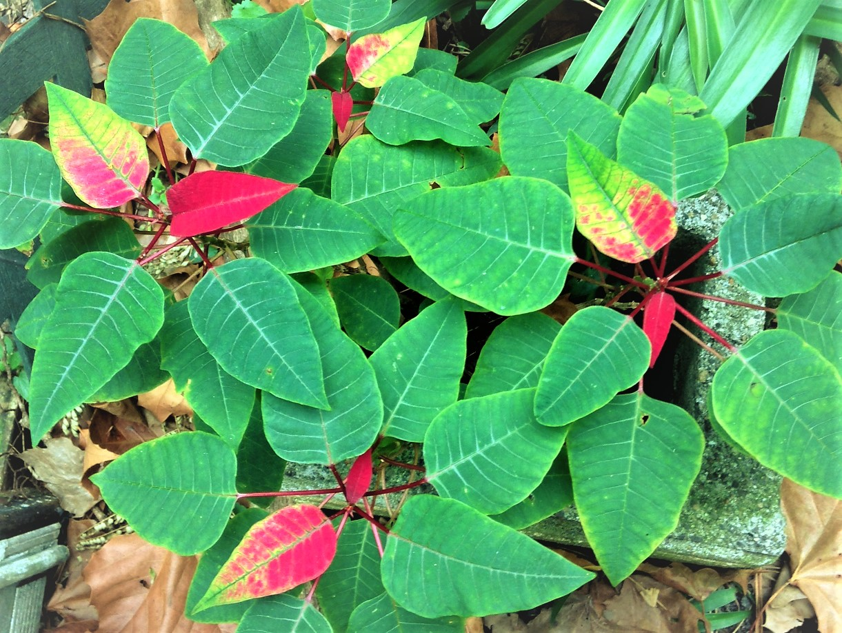 poinsettia turning
