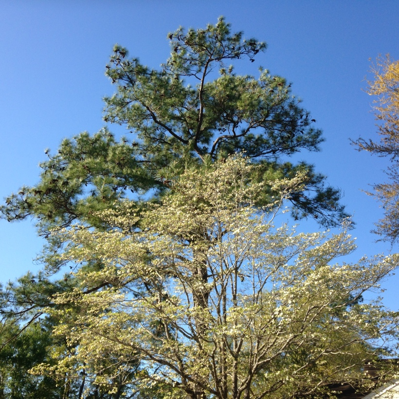 dogwood in front of pine