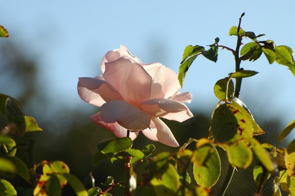 pale pink rose with thorns