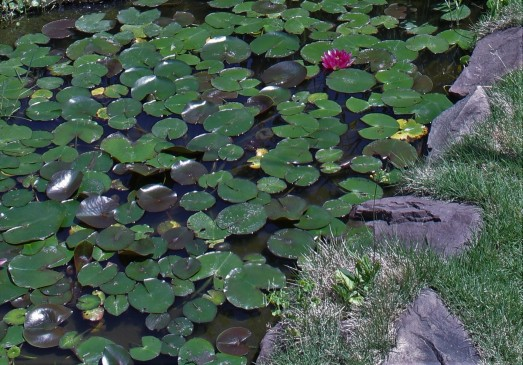 sally 's lily pads (3)