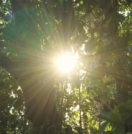 dandelion sun through trees (3)