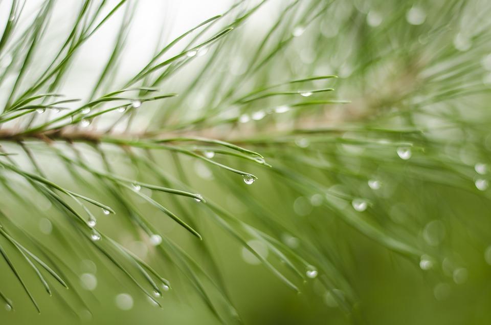 rain drops on pine needles