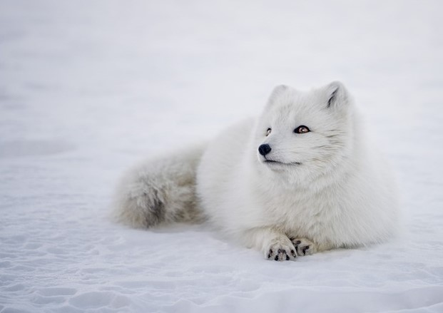 white fox looking up from pixabay (2)