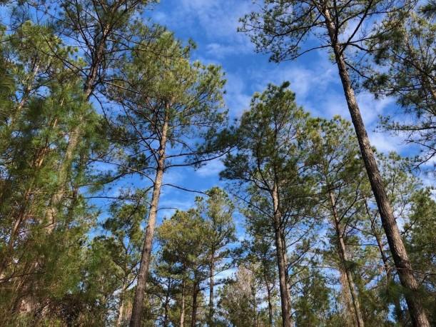 trees in blue sky