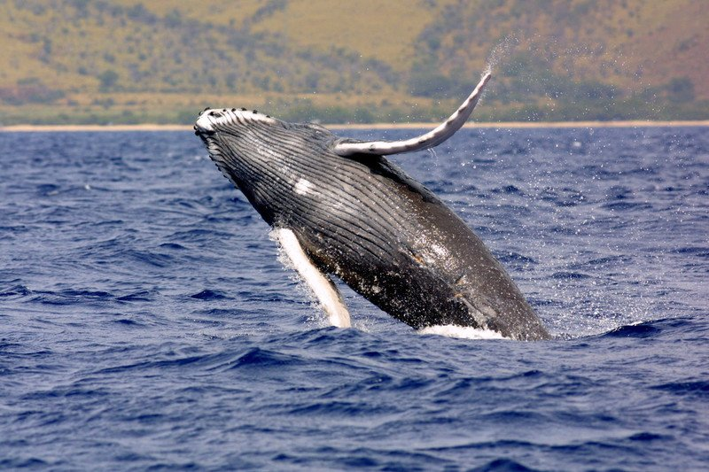 Whale leaping