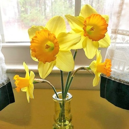 Daffodils in yellow glass by the window (3)