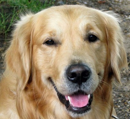dog golden retrriever (2)