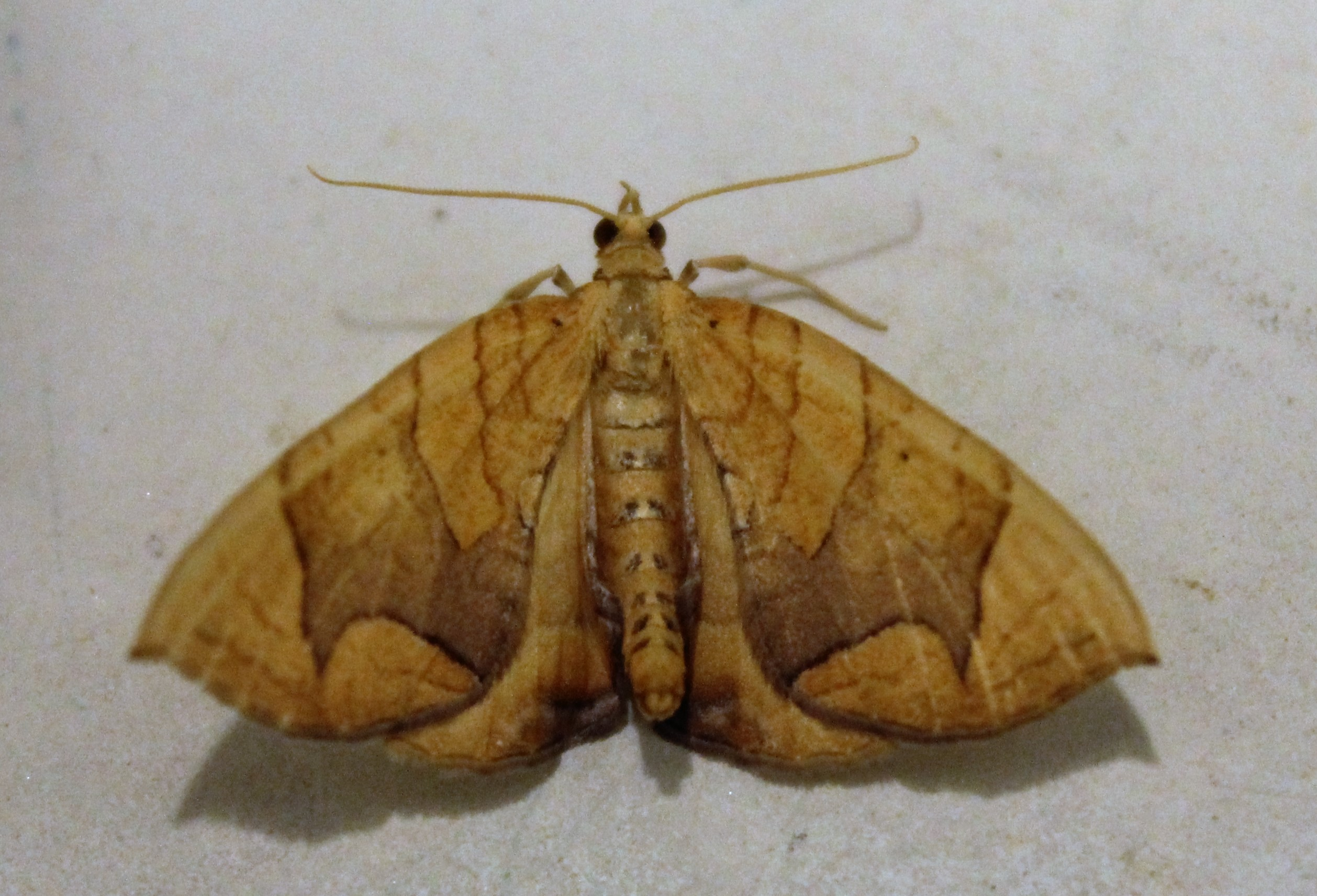 better yellow moth
