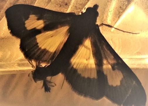 glass wing moth with tail (2)