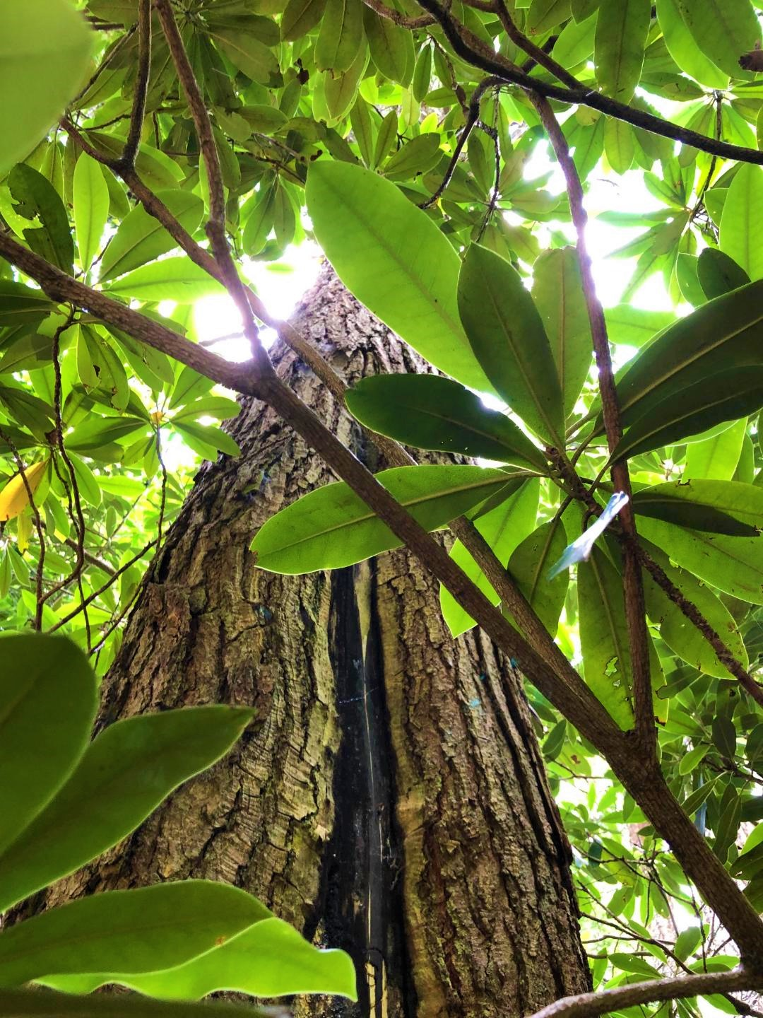 Mountain Magnolia leaves and trunk.jpg
