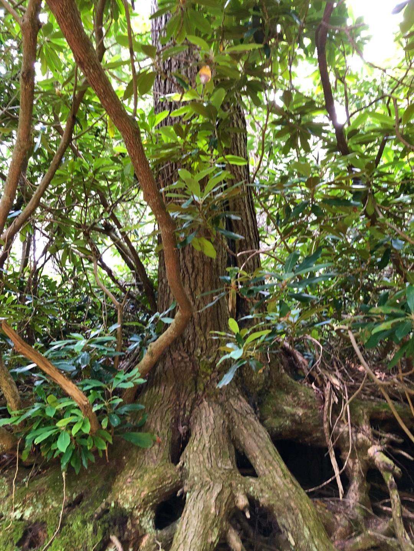 Mountain Magnolia roots