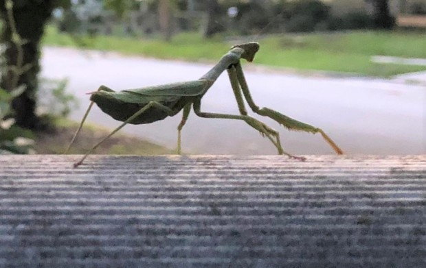 mantis on mailbox long