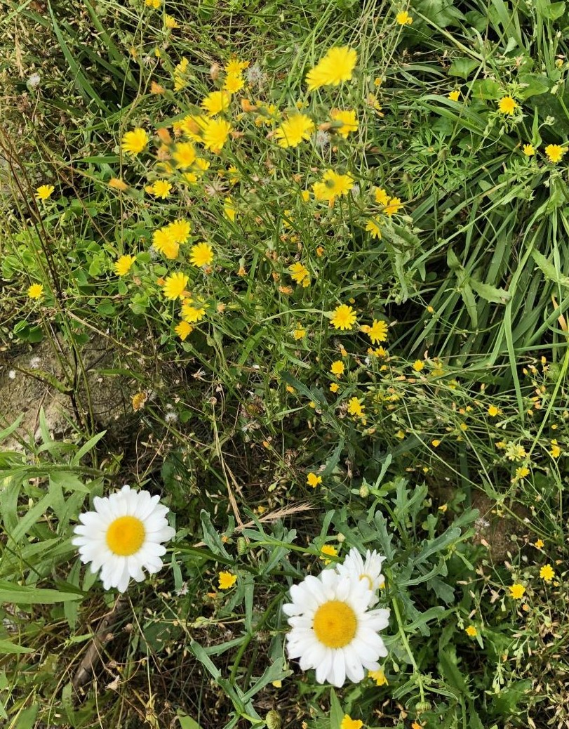 Daisies and yellow flowers
