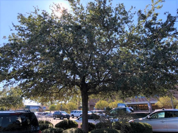 parking lot tree w cars