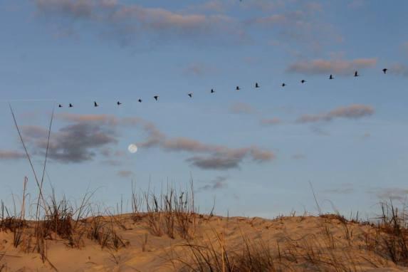 Line of Pelicans by JoAnne