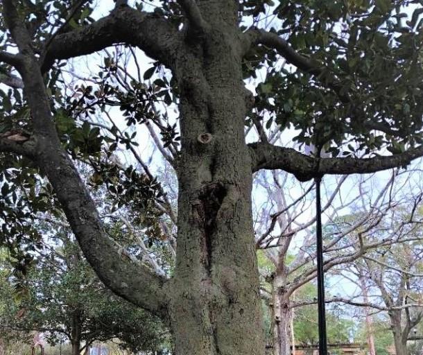 magnolia trunk (4)