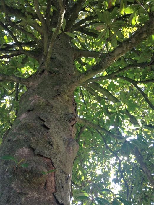 magnolia trunk face