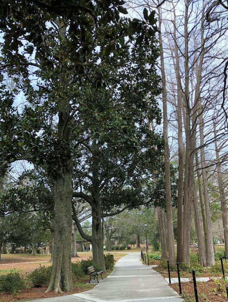 tree love magnolias in winter