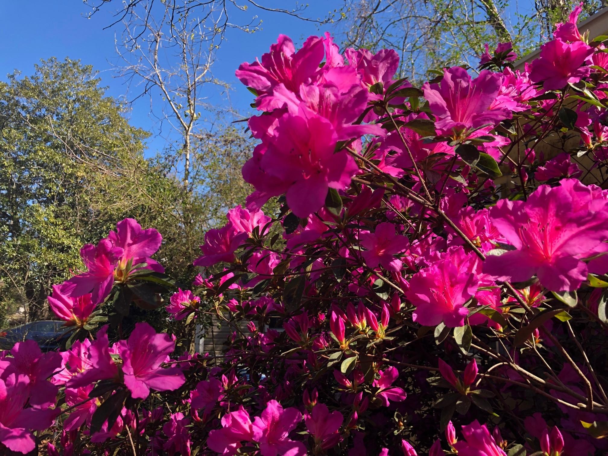 Azaleas w trees