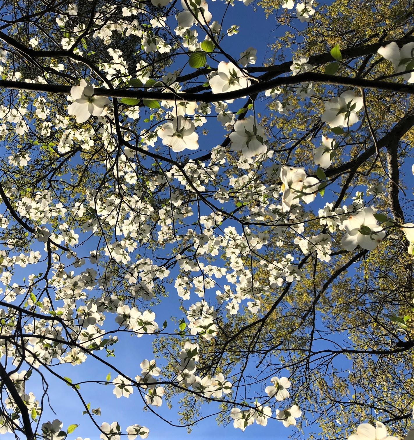 Dogwood blossoms abundant 2