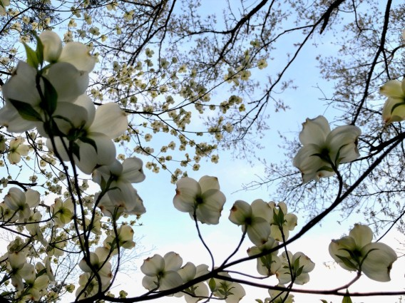 dogwood blossoms close up