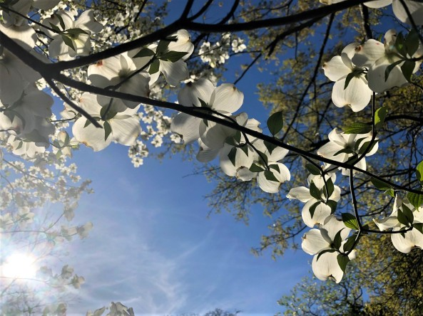 Dogwood blossoms with sun