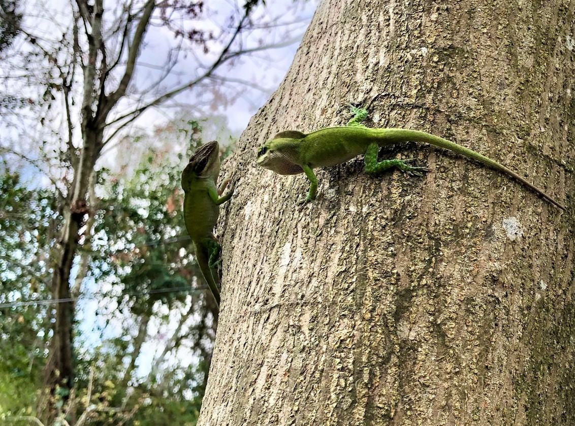geckos on a tree