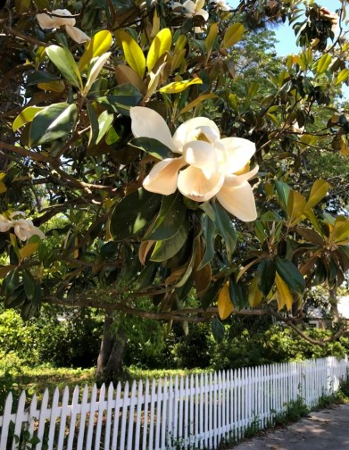 Magnoia flower and picket fence