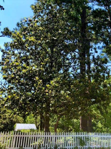magnolia tree with picket fence
