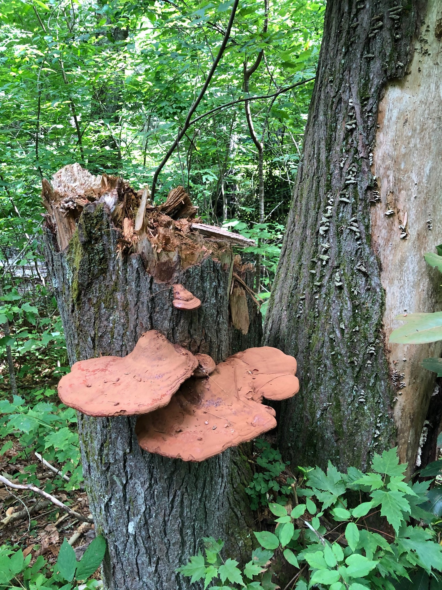 large brown fungus on tree